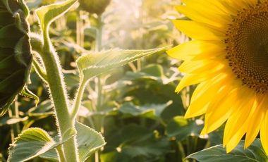 Project visual Koklaya La Beauté et la Santé par les plantes. Partageons l'amour de la nature