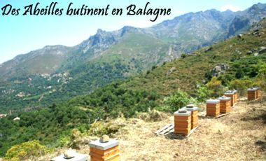 Visuel du projet Des Abeilles butinent en Balagne