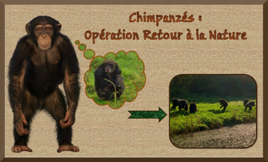 Visueel van project Chimpanzés : retour à la nature !