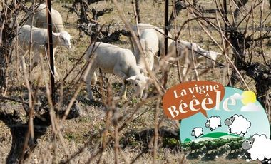 Visuel du projet La Vigne Bêêêle : installation d'un troupeau entre vigne et garrigue