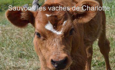 Visuel du projet Sauvons les vaches de Charlotte  !