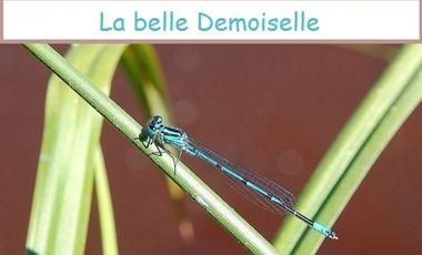 Project visual La belle demoisselle