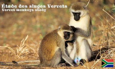 Project visual Étude des singes Vervet d'Afrique du Sud